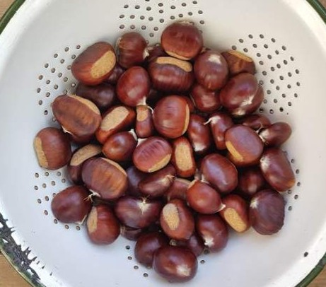 hygge style sweet chestnuts foraging