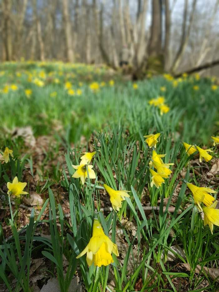 wild daffodils spring